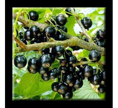 Ribes nigrum / Касис, Черно френско грозде
