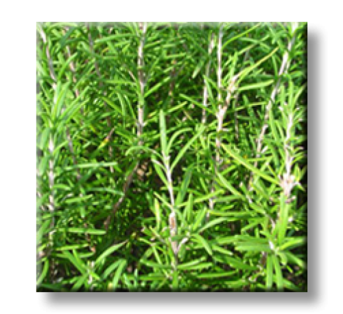 Rosmarinus officinalis / Розмарин