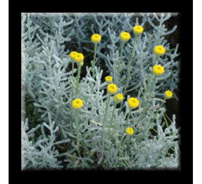 Santolina chamaecyparissus / Сантолина Сребриста