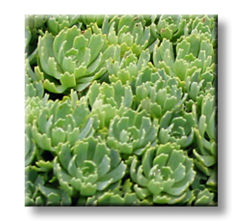 Sedum pachyclados / Тлъстига, Седум дебелолистен