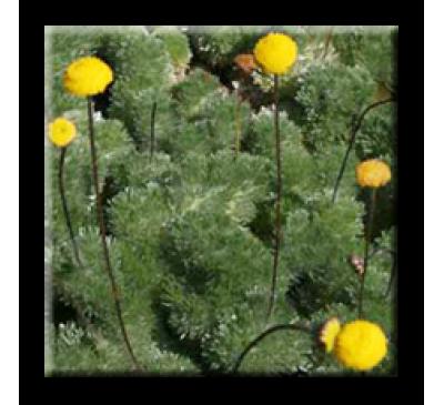 Silver Cotula (Cotula hispida) / Котула сребриста