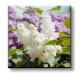 Syringa vulgaris / Люляк
