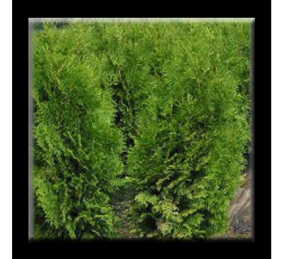 Thuja occidentalis Brabant / Западна туя Брабант