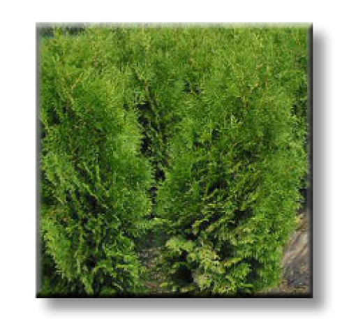 Thuja occidentalis Brabant / Западна туя Брабант - разсад