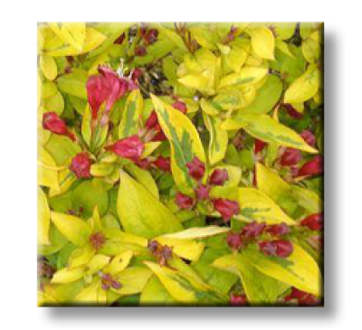 Weigela florida Golden leaf